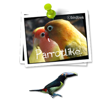 Amboina & Green Winged King Parakeets