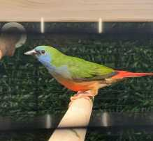 Parrot finches wanted