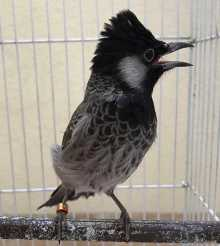 Bulbul  ( red_cheeked or white_cheeked )