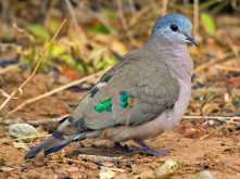 green spotted wood doves