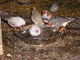 all my breeding zebs 2010 first bath of 2010