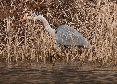 Heron Stalking prey.