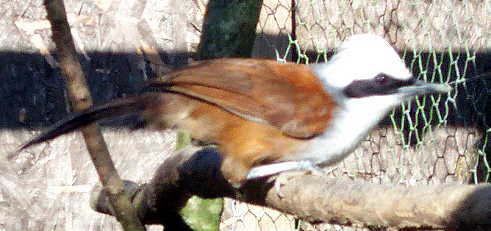 White Crested Laughing Thrushes